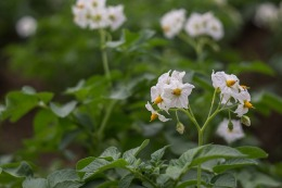 flower-of-potato pixa