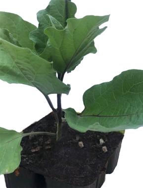 Acquisto della pianta di melanzana