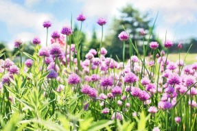 chives-798538_1920