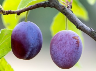 plums-940100_640