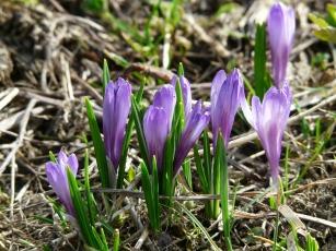 spring-crocus-54276_1920
