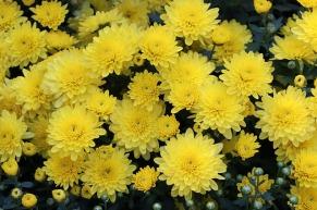 chrysanthemum-3723228_640