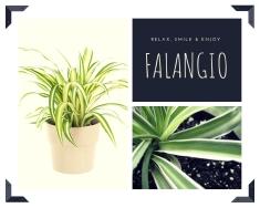 Falangio