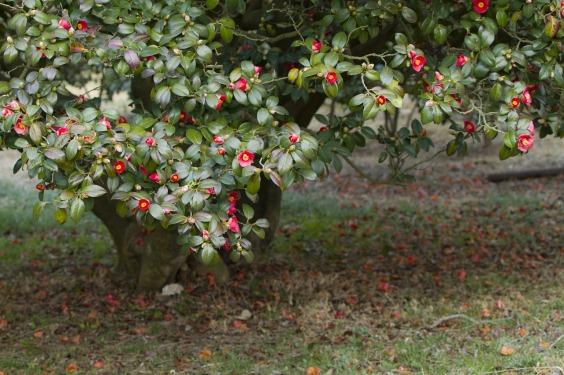 camellia-3276639_1280