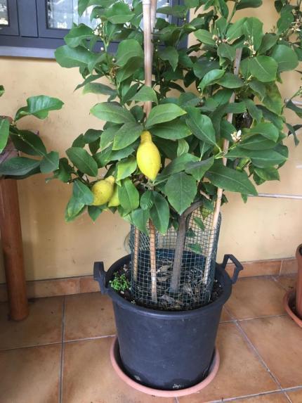 Fotografia del limone di Paola