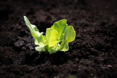 lettuce-seedling-4134906_640